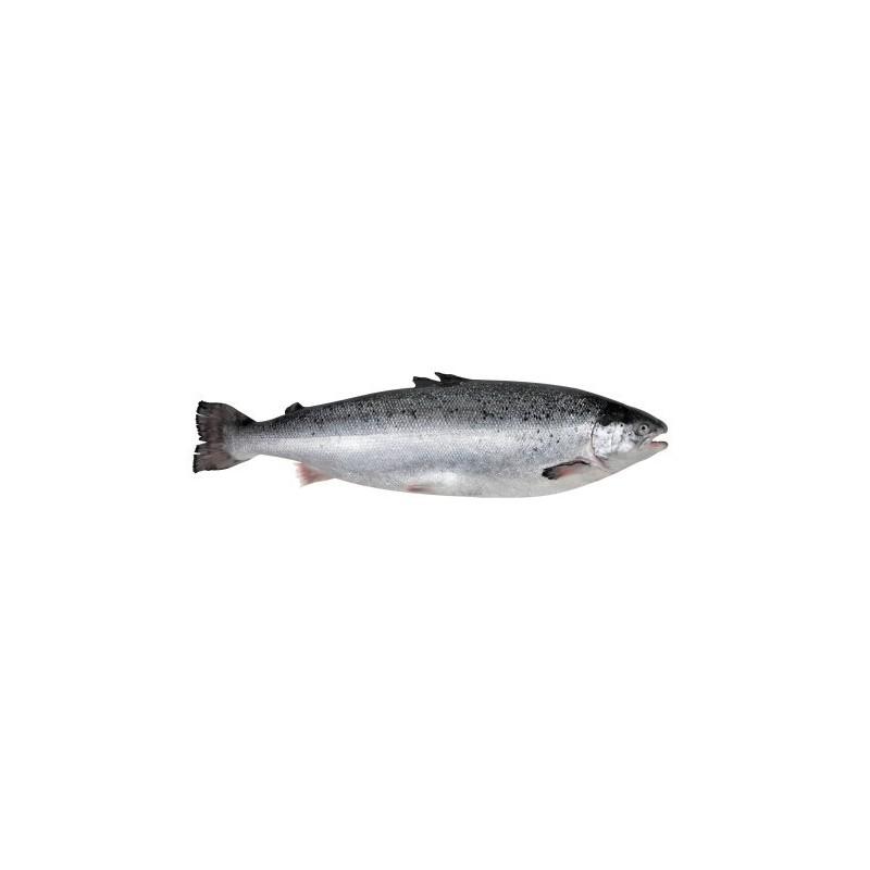 Łosoś norweski patroszony ok. 3-4 kg/szt